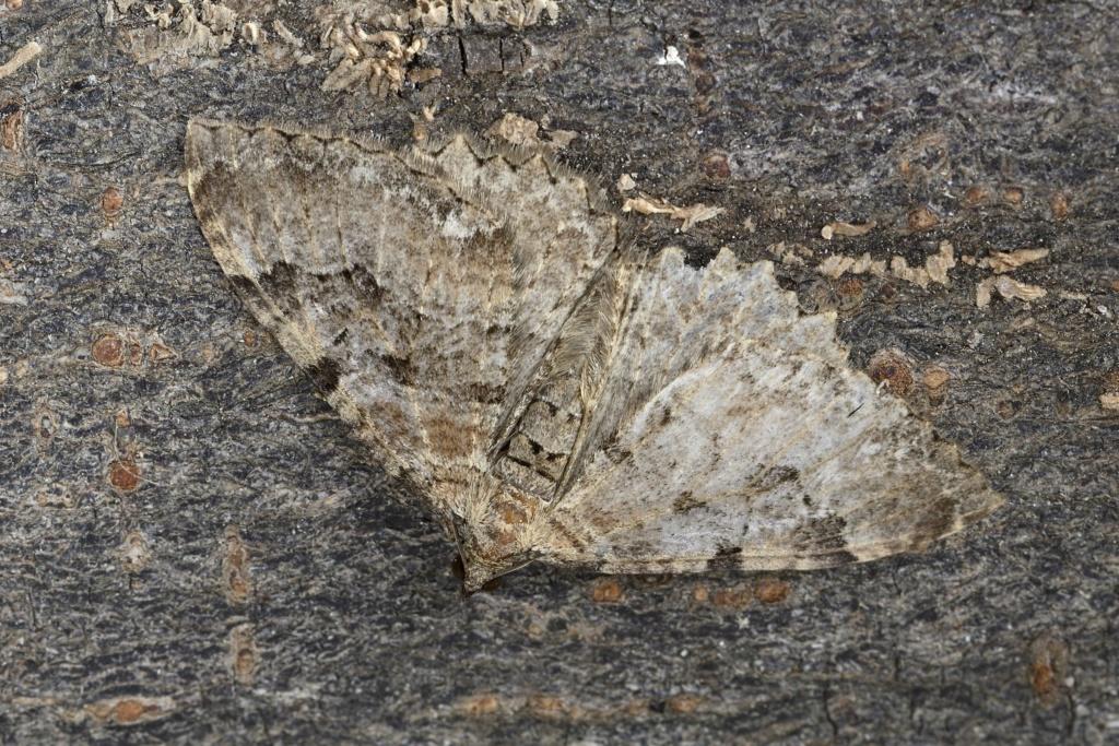 Nouvelle espèce bretonne ? Hydria cervinalis (+ Cyclophora puppillaria) _dsc8310