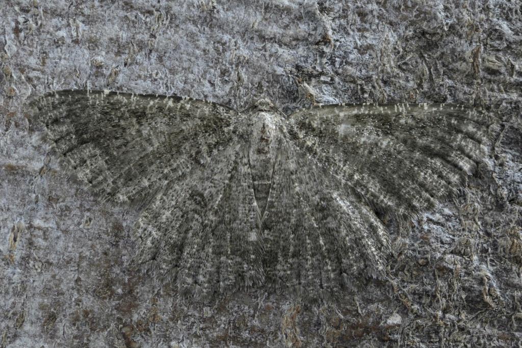 Quizz géomètre (Charissa obscurata) _dsc8511