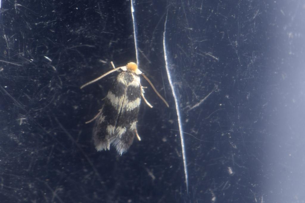 micro nepticulidae du soir _dsc9011