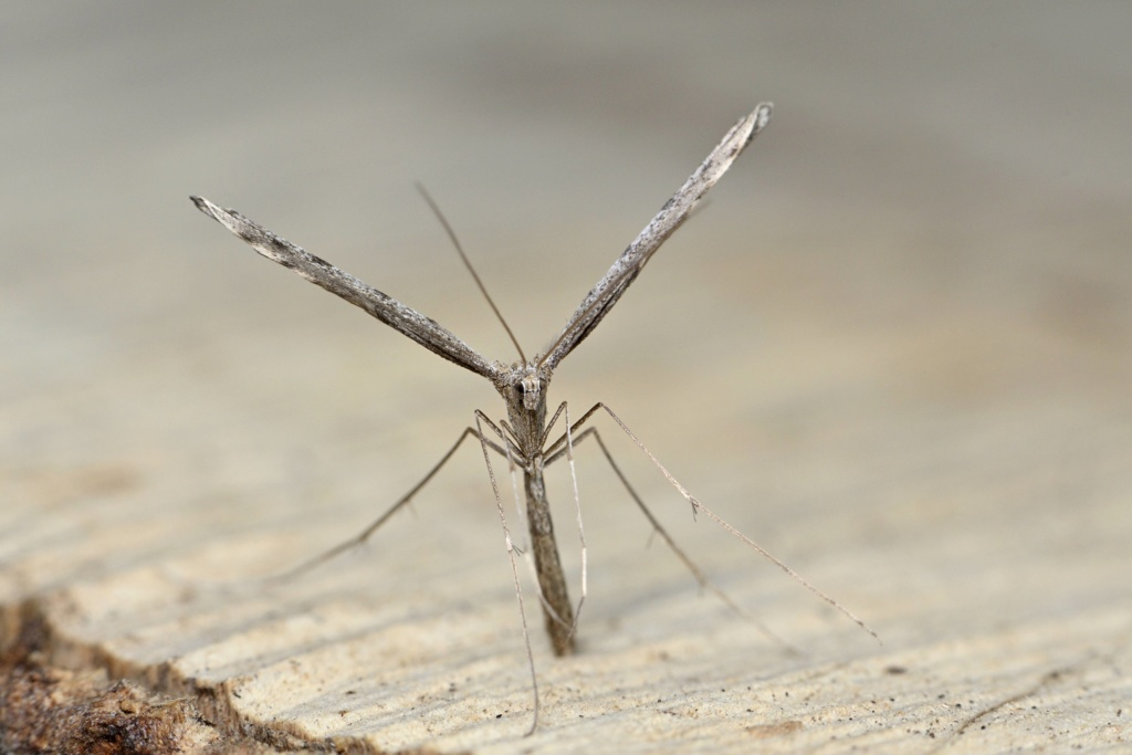 [Agdistis tamaricis (Pterophoridae)] Chenille pédonculée ?  Agdist10