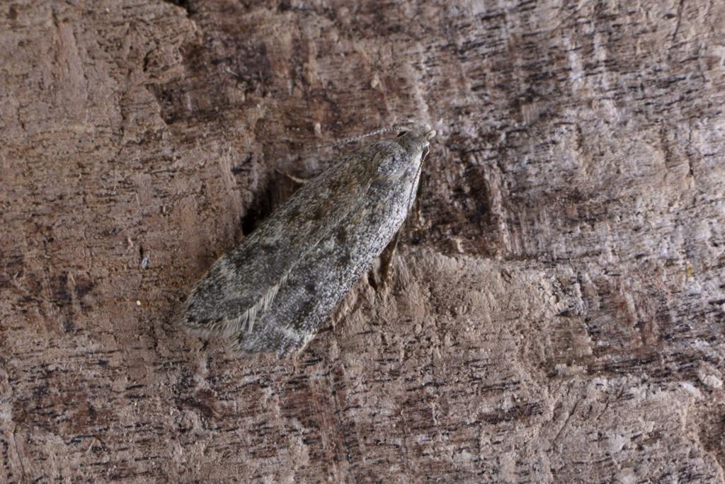 un autre gelechiidae Bryotr11