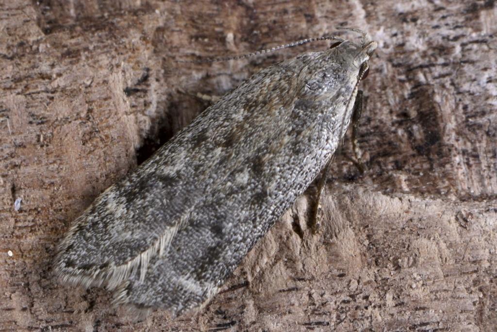 un autre gelechiidae Bryotr12