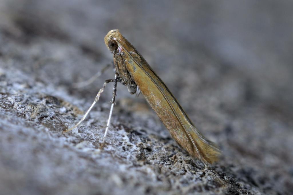 Caloptilia rufipennella Calopt12