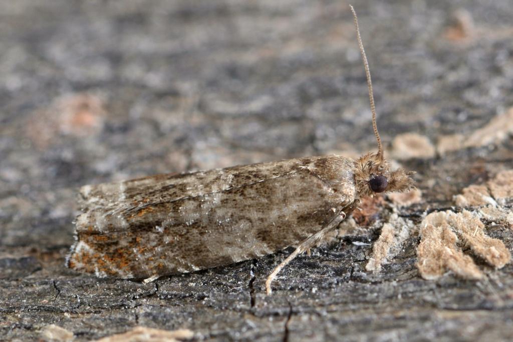 Tortricidae Epinot12