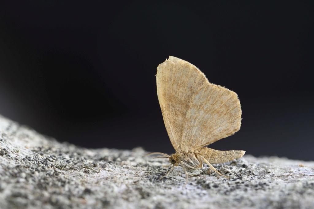 Un géomètre peu mentionné Euchoeca Euchoe10