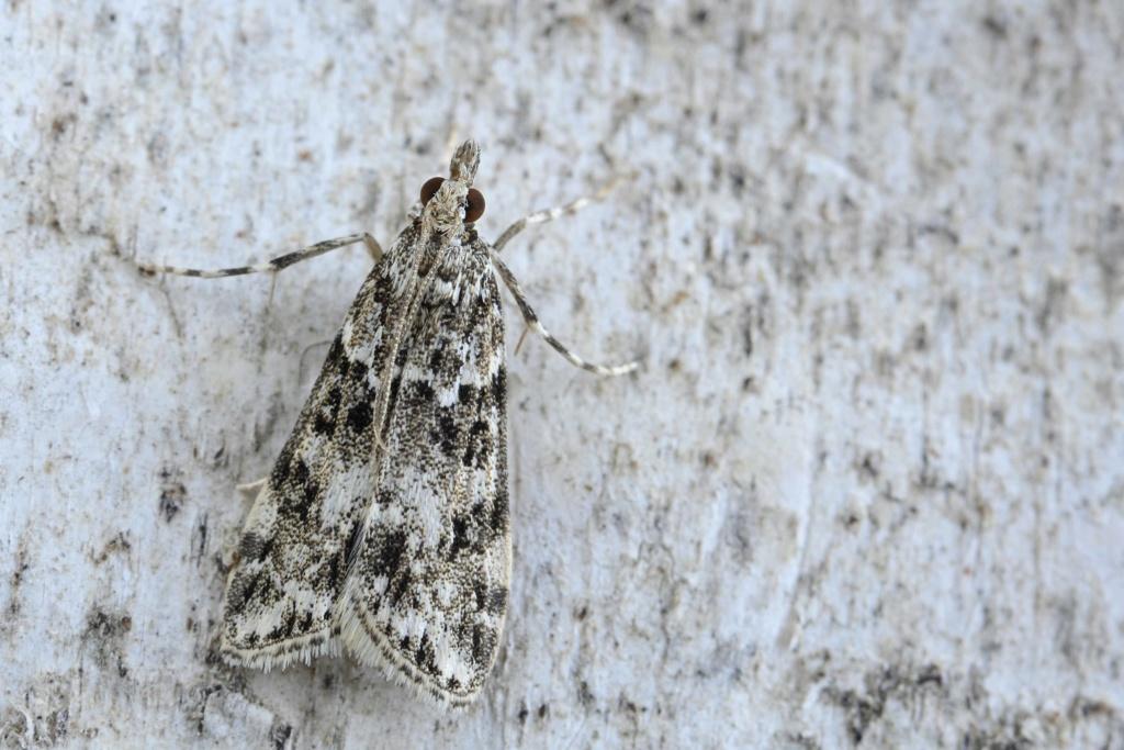 Eudonia delunella Eudoni10