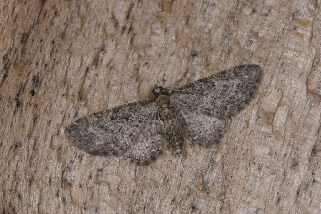 Eupithecia subfuscata ? Eupith11