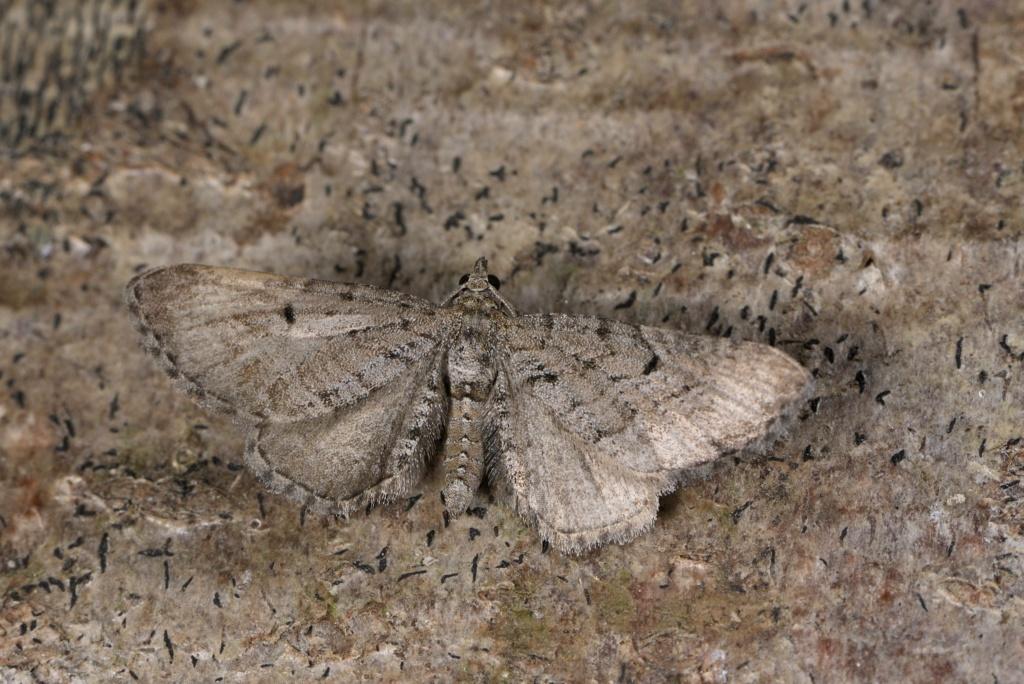 Eupithecia intricata Eupith13