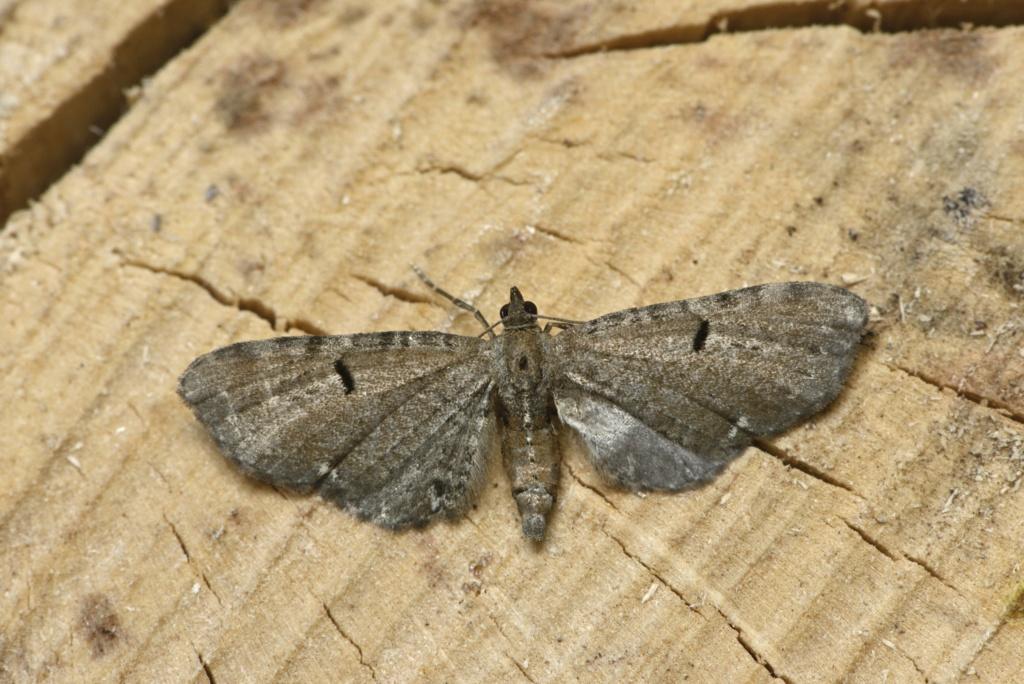 Eupithecia assimilata et tantillaria Eupith14