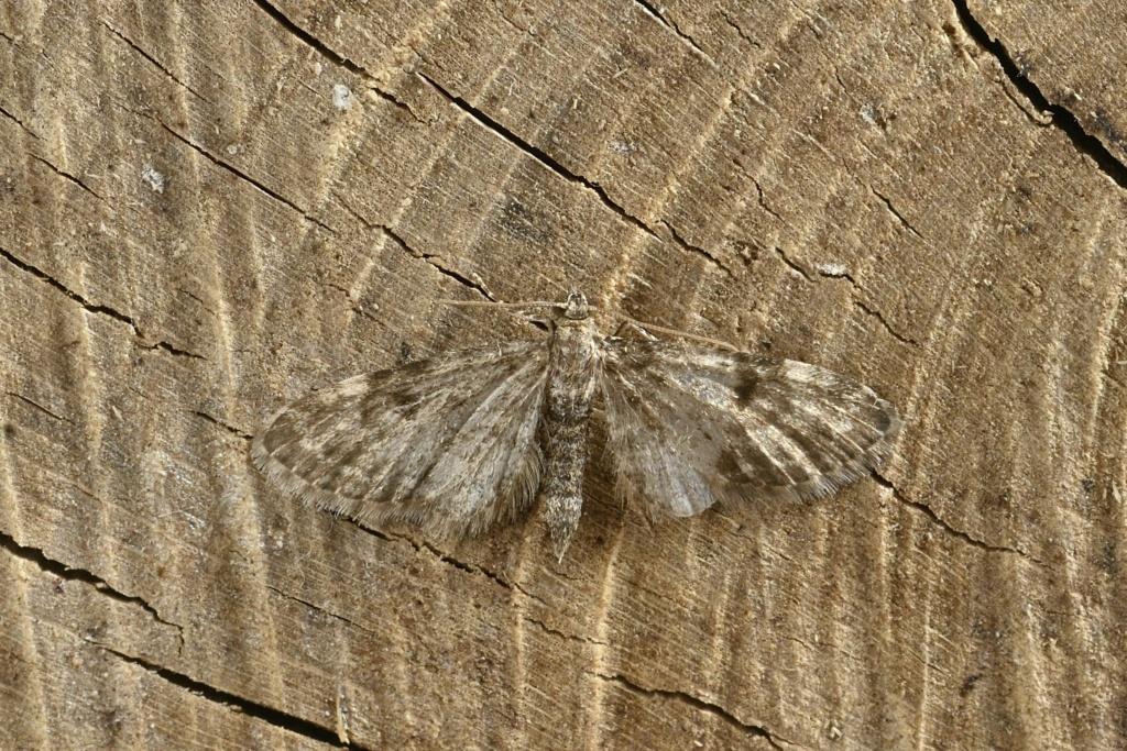 Eupithecia assimilata et tantillaria Eupith15