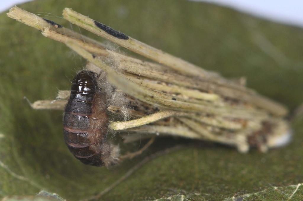 Psychidae : Luffia lapidella Fourre10