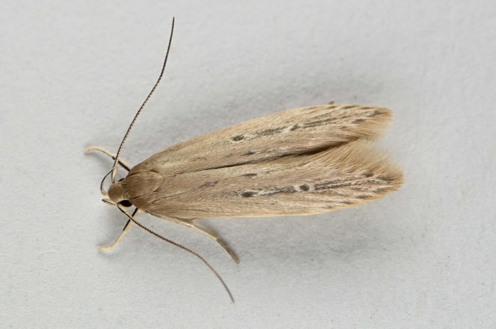 Limnaecia phragmitella est de sortie Limnae10