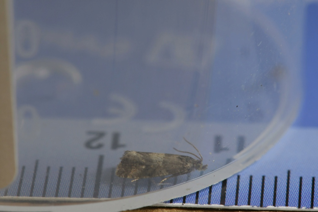 quizz tortricidae  Lobesi12