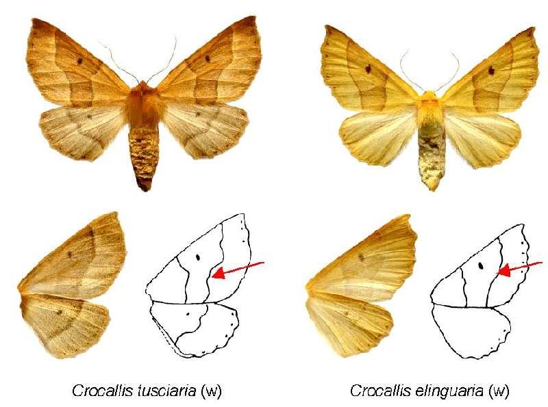 Rappel Crocallis tusciaria Pic58910