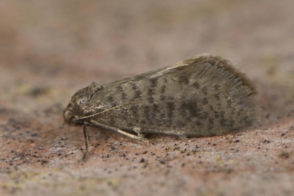 Psychidae : Luffia lapidella Psychi10