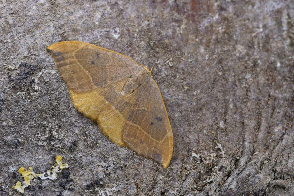 Identification lépidoptère : Watsonella binaria ? Watson11