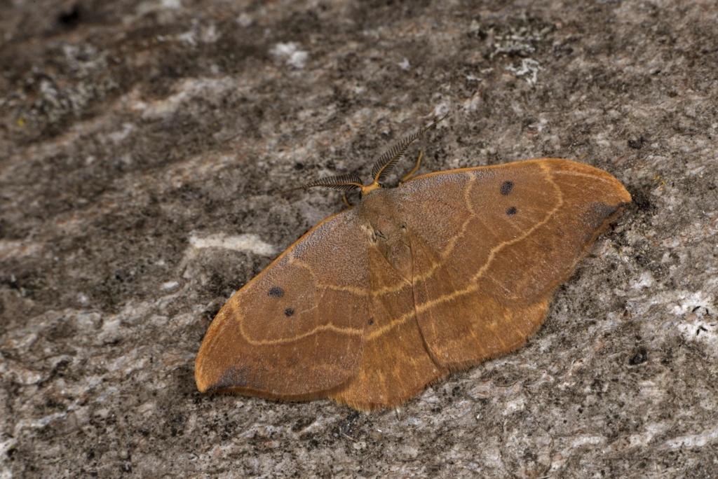 Identification lépidoptère : Watsonella binaria ? Watson12