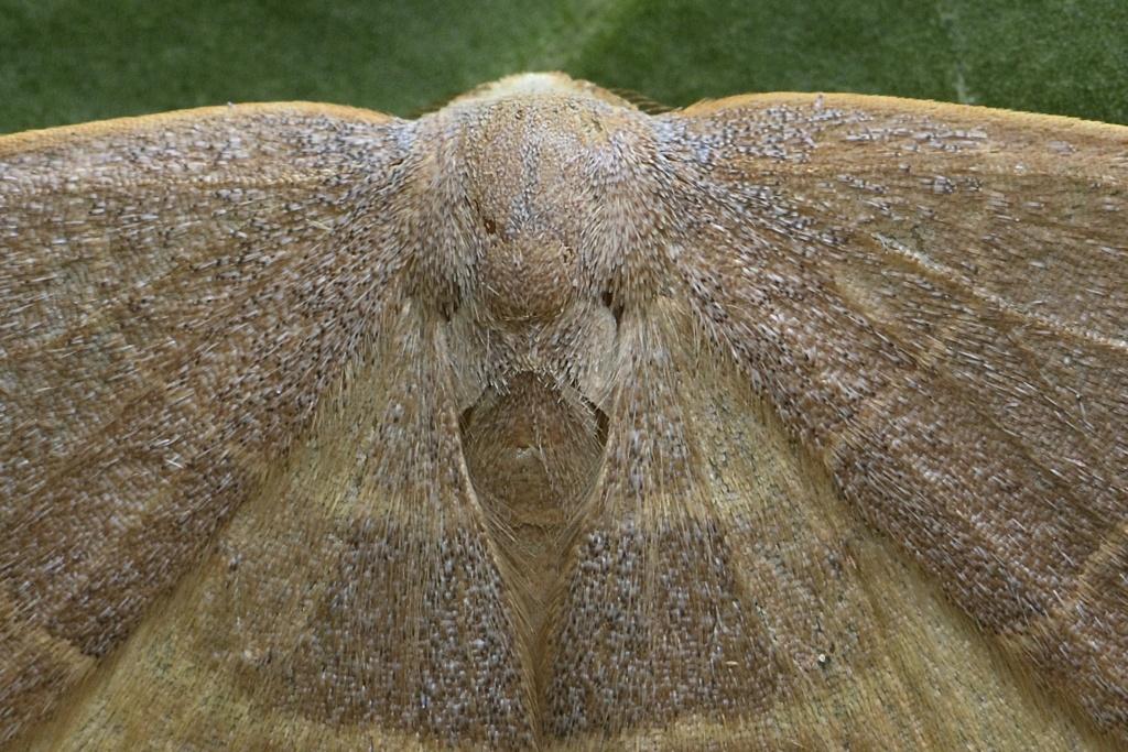 Identification lépidoptère : Watsonella binaria ? Watson13