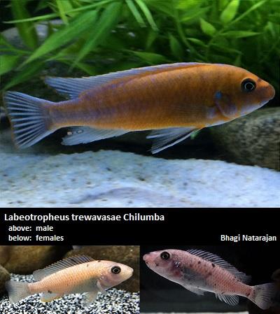 """Πωλούνται χαρέμια Labeotropheus trewavasae """"Mpanga red/Chilumba"""" Labeot10"""
