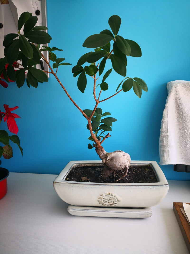 Bonsai Ficus microcarpa  Img_2011