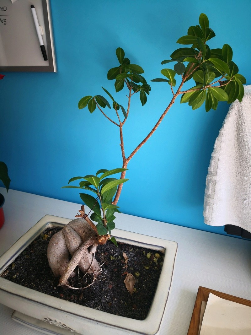 Bonsai Ficus microcarpa  Img_2012