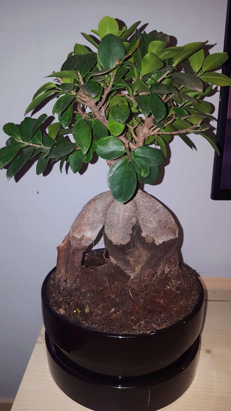 Sustrato muy úmedo durante muchos días sin regar Ficus_10