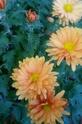 Хризантемы - Страница 19 Aeazie11
