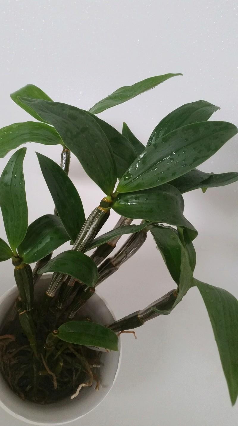 Dendrobium densiflorum 20180311