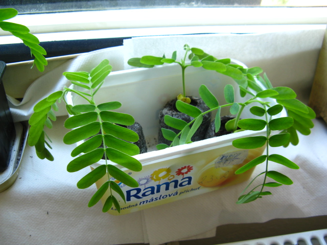 My very first plant - tamarind Img_8413