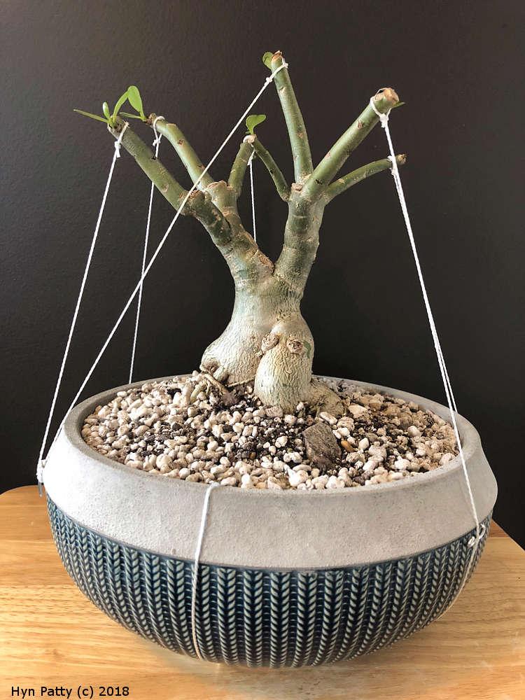 Baobab bonsai Adeniu10