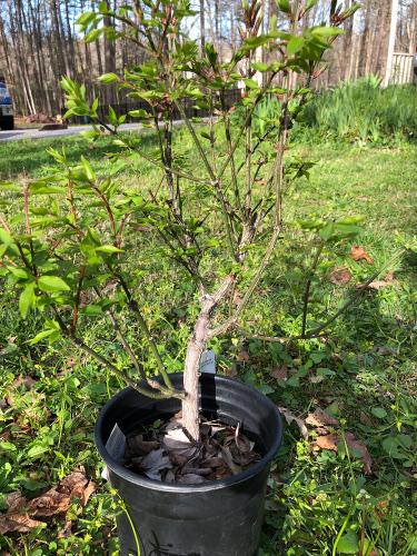 Euonymus alatus 'Compacta' aka Burning Bush or Spindle Tree Burnin10