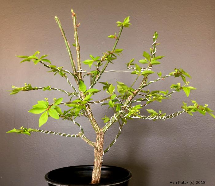 Euonymus alatus 'Compacta' aka Burning Bush or Spindle Tree Wired_11