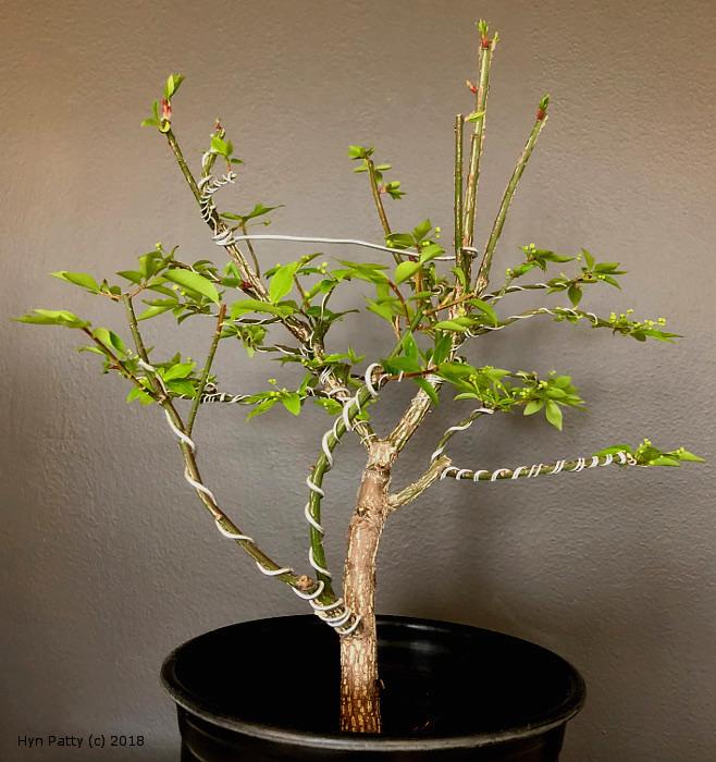 Euonymus alatus 'Compacta' aka Burning Bush or Spindle Tree Wired_12