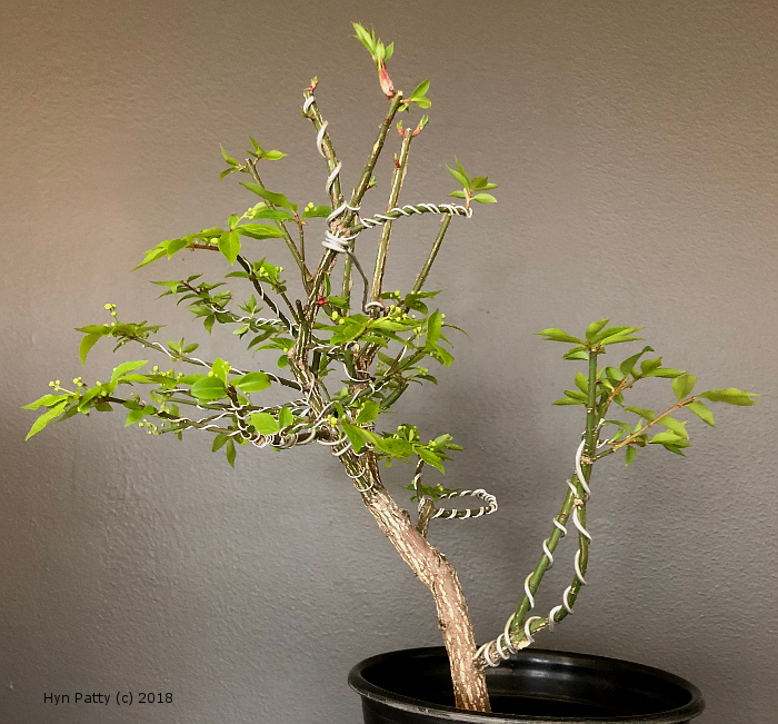 Euonymus alatus 'Compacta' aka Burning Bush or Spindle Tree Wired_13