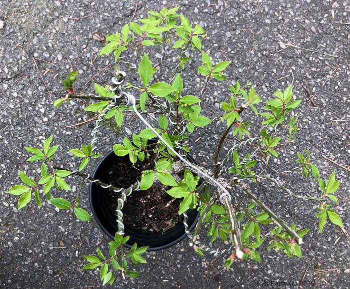 Euonymus alatus 'Compacta' aka Burning Bush or Spindle Tree Wired_14