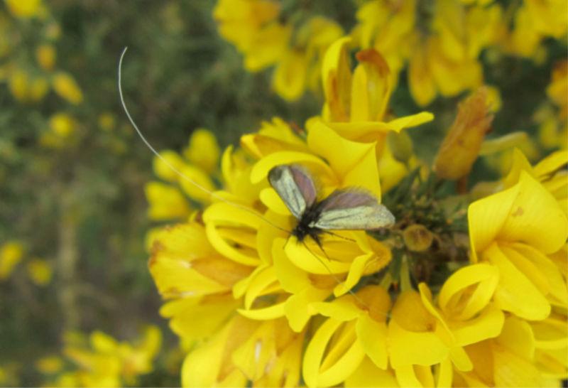Adelidae Img_6111