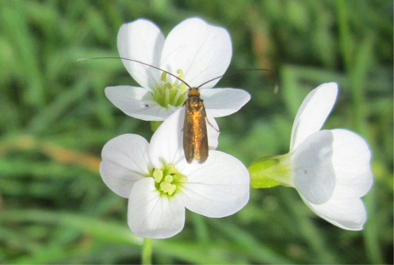 Adelidae Img_6112
