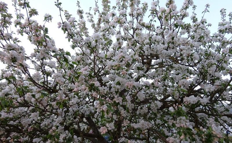 Was für Obstsorten habt Ihr denn im Garten? Aussaat, Spalier, Beerensträucher, Erfahrung und Hilfe :) - Seite 15 Dsc00612