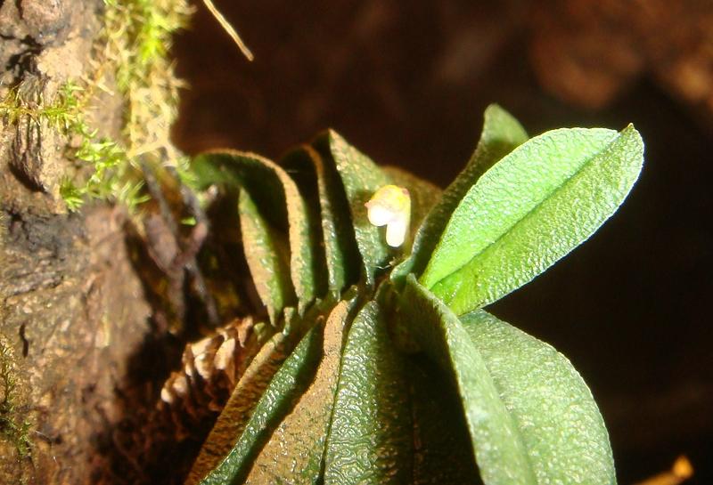 Schoenorchis - die Gattung der Microorchideen Compsc11