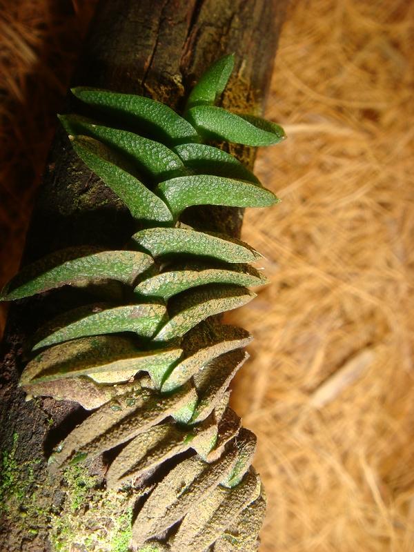 Schoenorchis - die Gattung der Microorchideen Compsc12