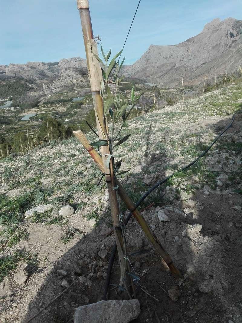 Crecimiento de plantones olivo - Página 14 Img_2011