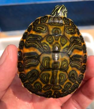 les bbs tortues en chez moi 29425319