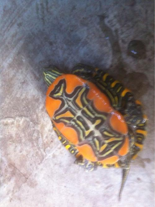 mes bebes tortues Chrysemys et Pseudemys 29425324
