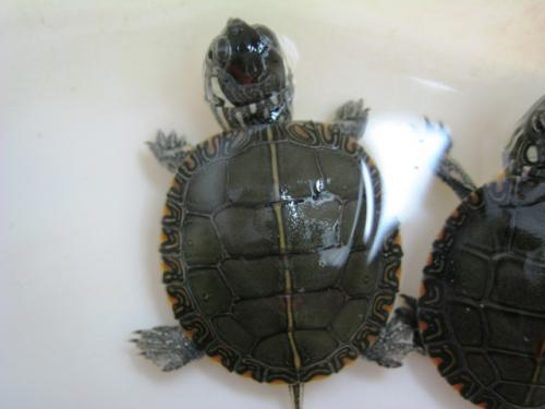 les bbs tortues en chez moi 29495810