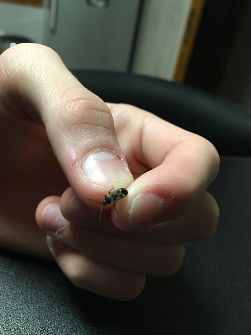 [Rhyparochromus vulgaris] Insecte inconnu Image10