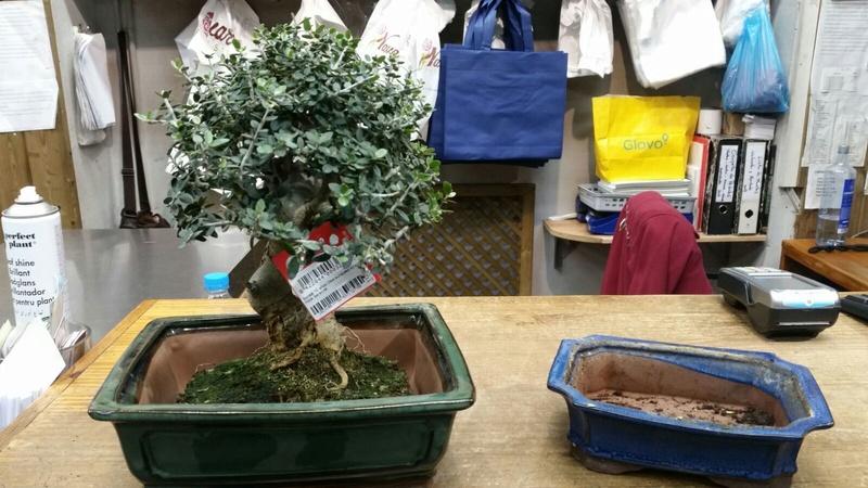 Duda transplante bonsai olivo acebuche de 10 años  Whatsa10