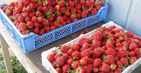 La fraise espagnole dangereuse pour la santé Safe_i11