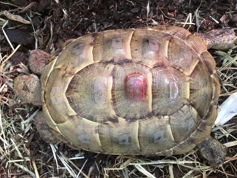 Aide pour identifier l'espèce des mes tortues Pralin10