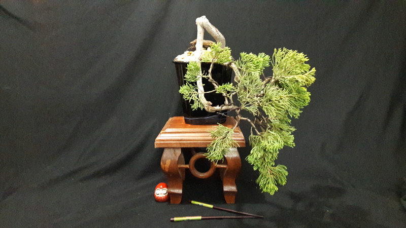 Mi primer bonsai  Img-2011