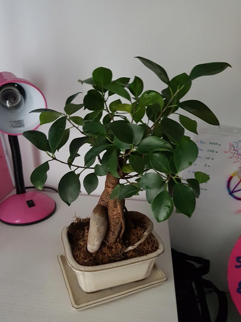 Como podar mi bonsái focus remusa 15235210